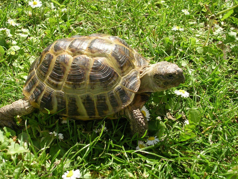 Galer a de im genes tortugas rusas - Pagine di colorazione tartaruga ...