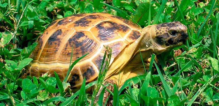 tortugas rusas
